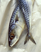 Mackerel Posters - Mackerel Poster by David Munns