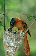 Tending Framed Prints - Madagascar Paradise Flycatcher Framed Print by Cyril Ruoso
