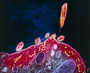 Release Posters - Malaria Parasite, Tem Poster by London School Of Hygiene & Tropical Medicine