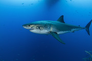 Sharks Photo Posters - Male Great White Shark, Guadalupe Poster by Todd Winner