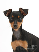 Pinscher Prints - Miniature Pinscher Puppy Print by Mark Taylor