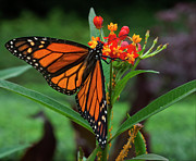 Animals - Monarch Butterfly by Robert Ullmann