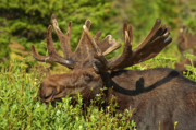 Bull Moose Photos - Moose by Sebastian Musial