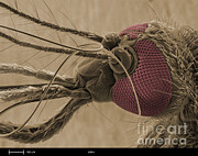 Mosquito Framed Prints - Mosquitos Head, Sem Framed Print by Ted Kinsman