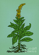 Mullein Plant Posters - Mullein Poster by Science Source