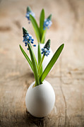 Grape Leaves Prints - Muscari Print by Kati Molin
