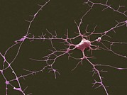 Neuron Prints - Nerve Cell, Sem Print by Steve Gschmeissner