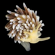Marine Mollusc Art - Nudibranch by Alexander Semenov