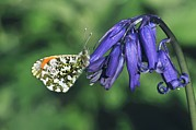 Hyacinthoides Non-scripta Posters - Orange Tip Butterfly Poster by Colin Varndell
