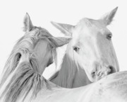 White Horses Photo Prints - Pals Print by Ron  McGinnis