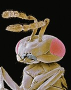 Wasp.insect Prints - Parasitic Wasp, Sem Print by Steve Gschmeissner
