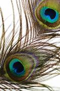 Abstract Animal Framed Prints - Peacock Feathers Framed Print by Mary Van de Ven - Printscapes