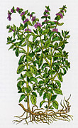 Rituals Posters - Pennyroyal, Alchemy Plant Poster by Science Source