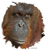 Orangutan Digital Art Metal Prints - Pensive Primate Metal Print by Larry Linton