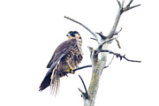 Avian Metal Prints - Peregrine Metal Print by Michel Soucy