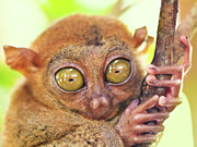 Alien Eyes Framed Prints - Phillipine tarsier Framed Print by MotHaiBaPhoto Prints