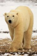 Churchill Wild Posters - Polar Bear, Churchill, Manitoba Poster by Robert Postma
