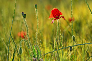 Puppies Metal Prints - Poppies Metal Print by Guido Montanes Castillo
