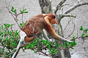 Proboscis Photos - Proboscis Monkey Long Nosed by Gualtiero Boffi