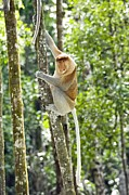 Proboscis Photos - Proboscis Monkey by Tony Camacho