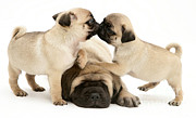 Dog At Play Posters - Pug And English Mastiff Puppies Poster by Jane Burton
