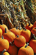 Season Metal Prints - Pumpkins Metal Print by Elena Elisseeva