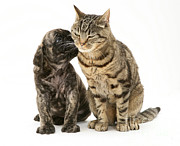 Mastiff Puppy Prints - Puppy And Cat Print by Jane Burton
