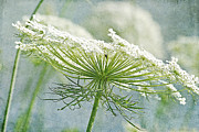 Queen Anne Framed Prints - Queen Annes Lace Framed Print by Cindi Ressler