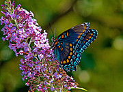 Butterfly Prints - Red Spotted Purple Print by Road  Mosey