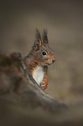 Andy Astbury Framed Prints - Red Squirrel Framed Print by Andy Astbury
