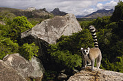 Lemuridae Prints - Ring-tailed Lemur Lemur Catta Portrait Print by Pete Oxford