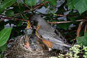 Robin Photos - Robin Feeding Its Young by Ted Kinsman