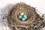 North American Wildlife Art - Robins Nest And Cowbird Egg by Ted Kinsman