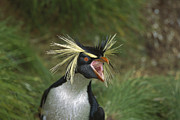 Calling Framed Prints - Rockhopper Penguin Eudyptes Chrysocome Framed Print by Tui De Roy
