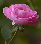JISS JOSEPH - rose flower
