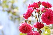 Roses Print by Gal Ashkenazi