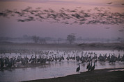 Flying Birds Prints - Sandhill Cranes Roost On The Platte Print by Joel Sartore
