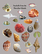 Seashell Digital Art Prints - Seashells from the Hawaiian Islands Print by Daniel Goodwin