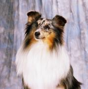 Best Friend Photos - Shetland Sheepdog Portrait Of A Dog by The Irish Image Collection