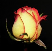 Peach Roses Photos - Single Rose by Cathie Tyler
