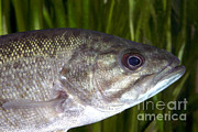 Smallmouth Bass Photos - Smallmouth Bass Micropterus Dolomieu by Ted Kinsman