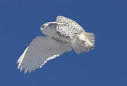 Owl Eyes Posters - Snowy Owl in Flight Poster by Mark Duffy