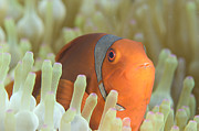 Red Sea Anemonefish Posters - Spinecheek Anemonefish In Anemone Poster by Steve Jones