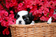 Shih Tzu Posters - Spring Puppy Poster by Darren Fisher