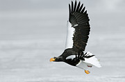 Eagle Framed Prints - Stellers Sea Eagle Haliaeetus Pelagicus Framed Print by Sergey Gorshkov