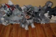 Schnauzers Posters - Stuffed Animals Poster by Rob Hans