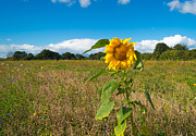 Flevoland Art - Sunflower under a cloudy sky by Jan Marijs