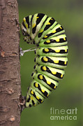Pupa Posters - Swallowtail Caterpillar Poster by Ted Kinsman