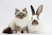 Brown Tabby Posters - Tabby-point Birman Cat And Rabbit Poster by Mark Taylor