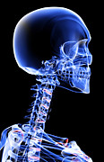 X-ray Image Art - The Bones Of The Head And Neck by MedicalRF.com
